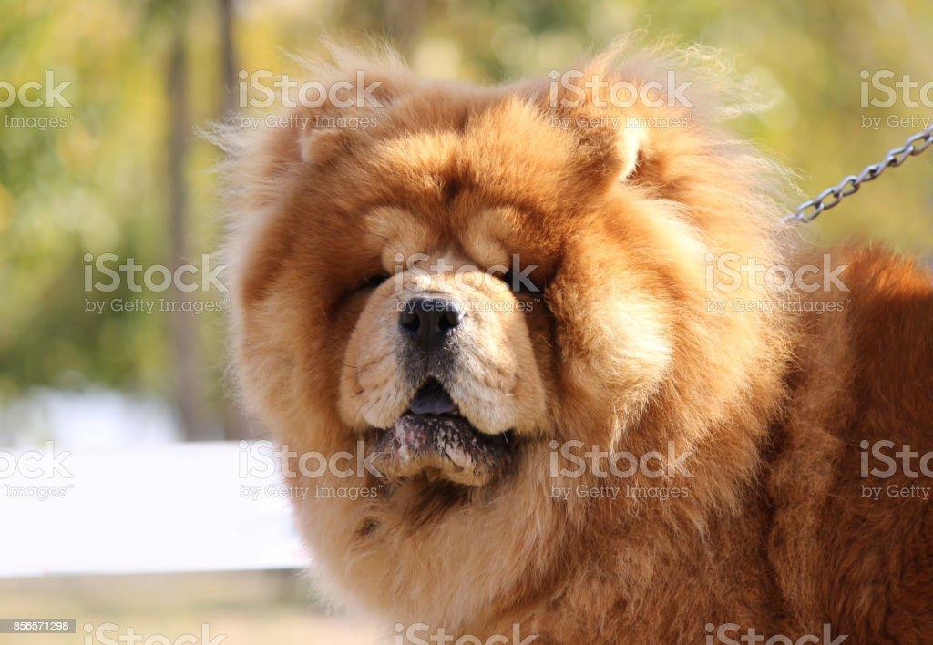 Chow chow dog stock photo