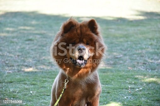 A Chow Chow dog relaxing in the park