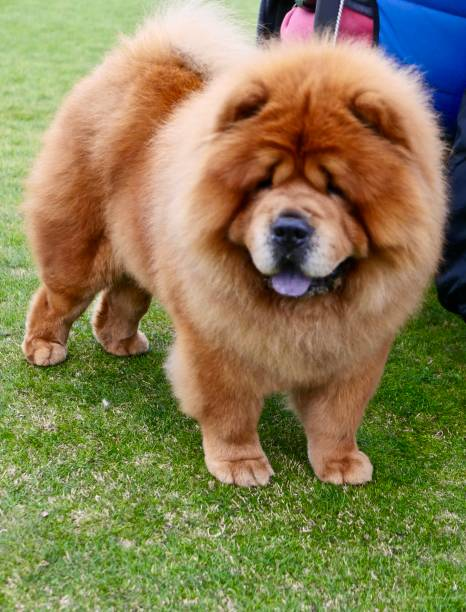Chow Chow Dogs walking on grass stock photo