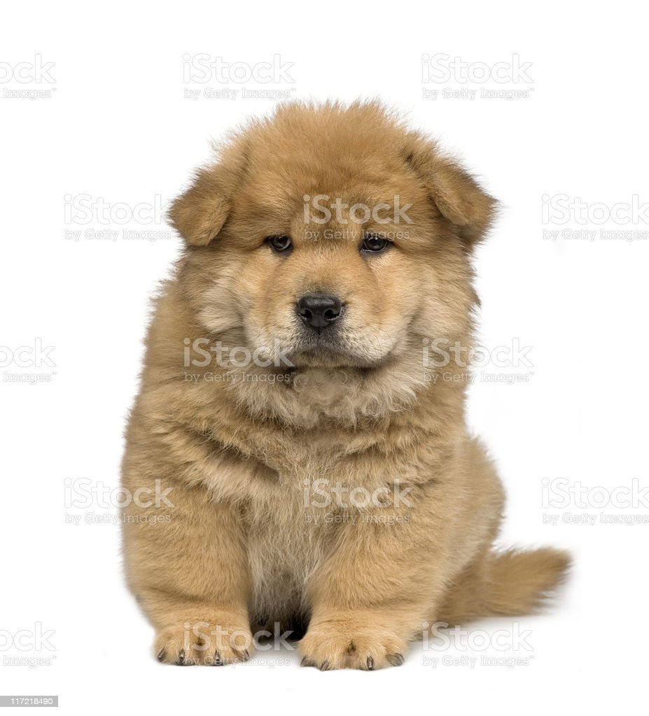 Chow -chow (2 months) royalty-free stock photo