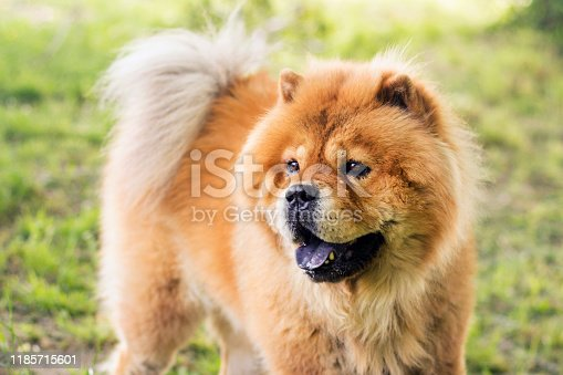 Chow Chow, is a dog breed from northern China, where it is referred to as Songshi Quan, which means