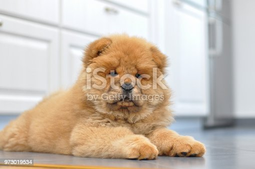 Purebred red dog chow chow