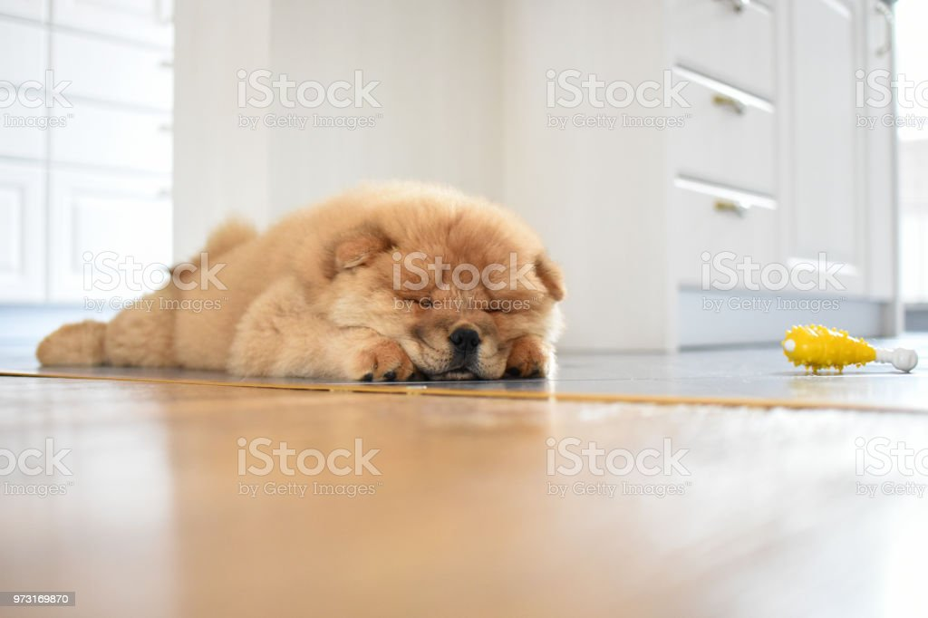Chow Chow Puppy In The House Stock Photo - Download Image