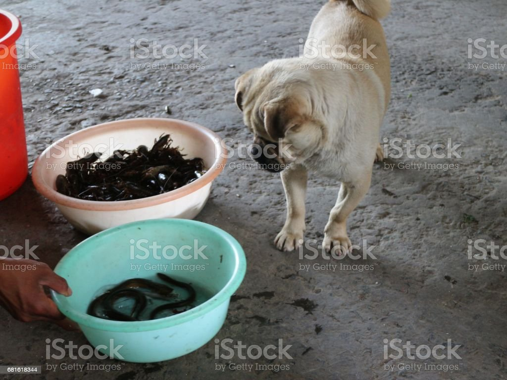 Chow Chow Puppy Looking at Bowl of Eels stock photo
