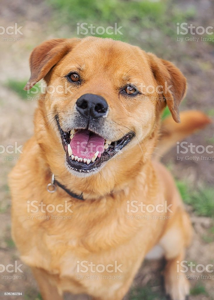 Chow Mix Dog in Animal Shelter stock photo