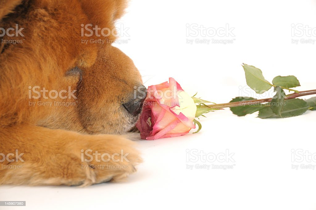 Chow-chow and rose royalty-free stock photo