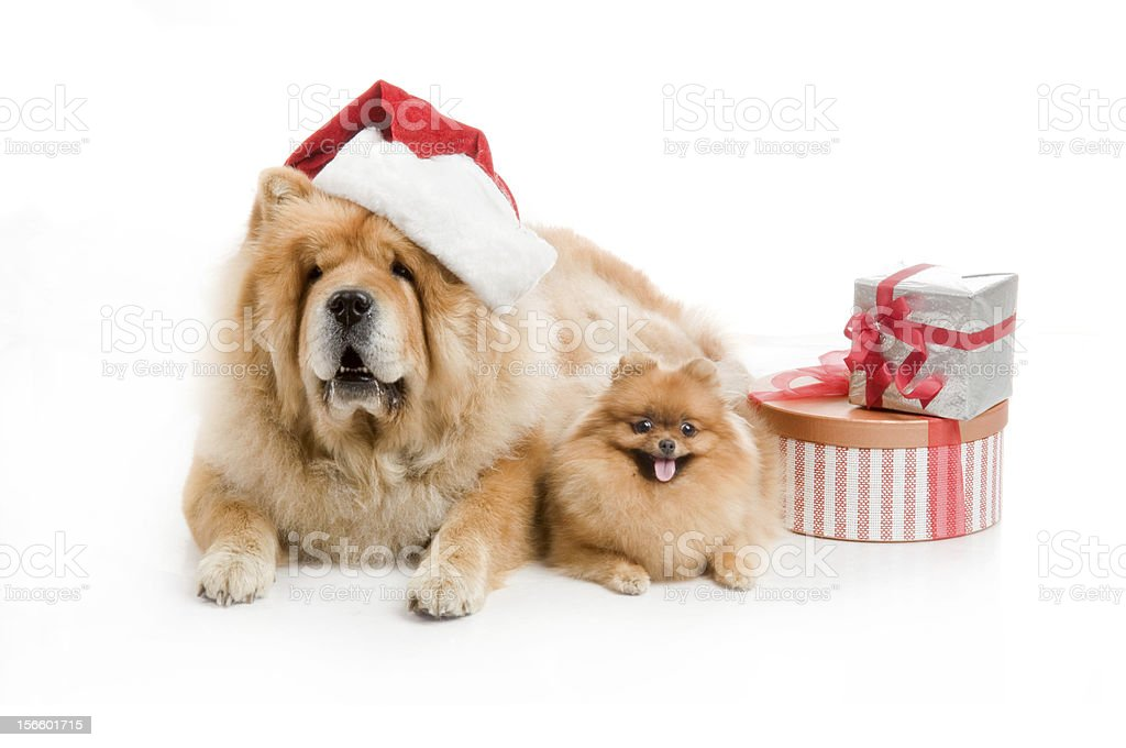 Chow-Chow dog in a red Santa Claus hat  and spitz royalty-free stock photo