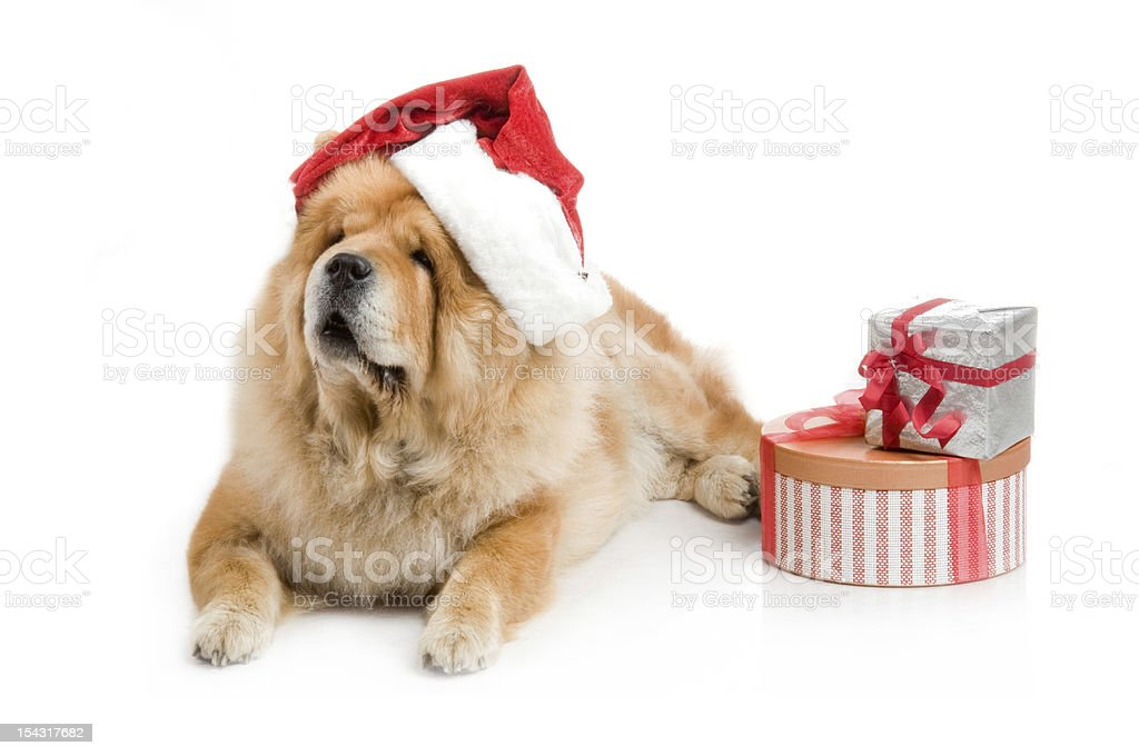 Chow-Chow dog in a red Santa Claus hat royalty-free stock photo