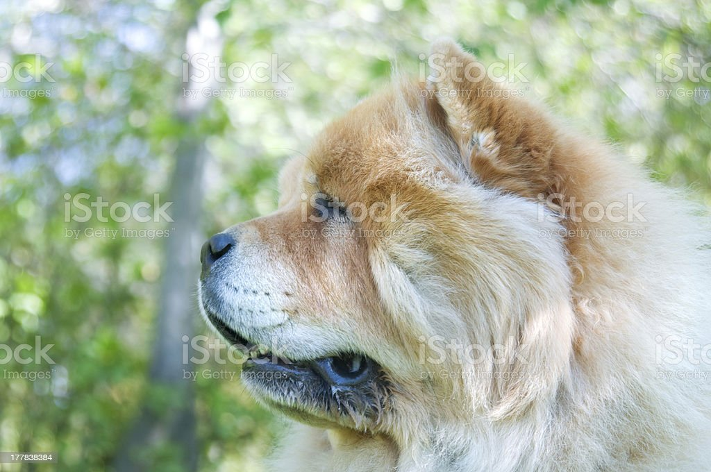 Chow-Chow dog in the city park royalty-free stock photo