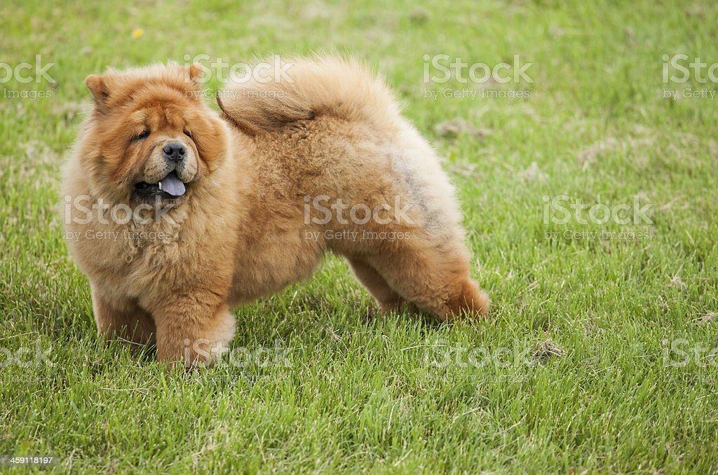 Chow-chow dog stock photo