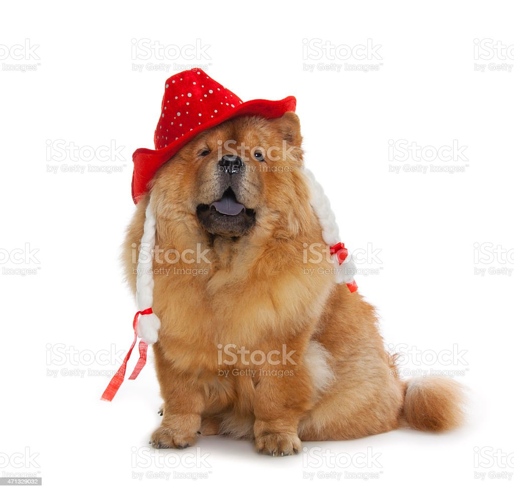 chow-chow dog with red hat stock photo