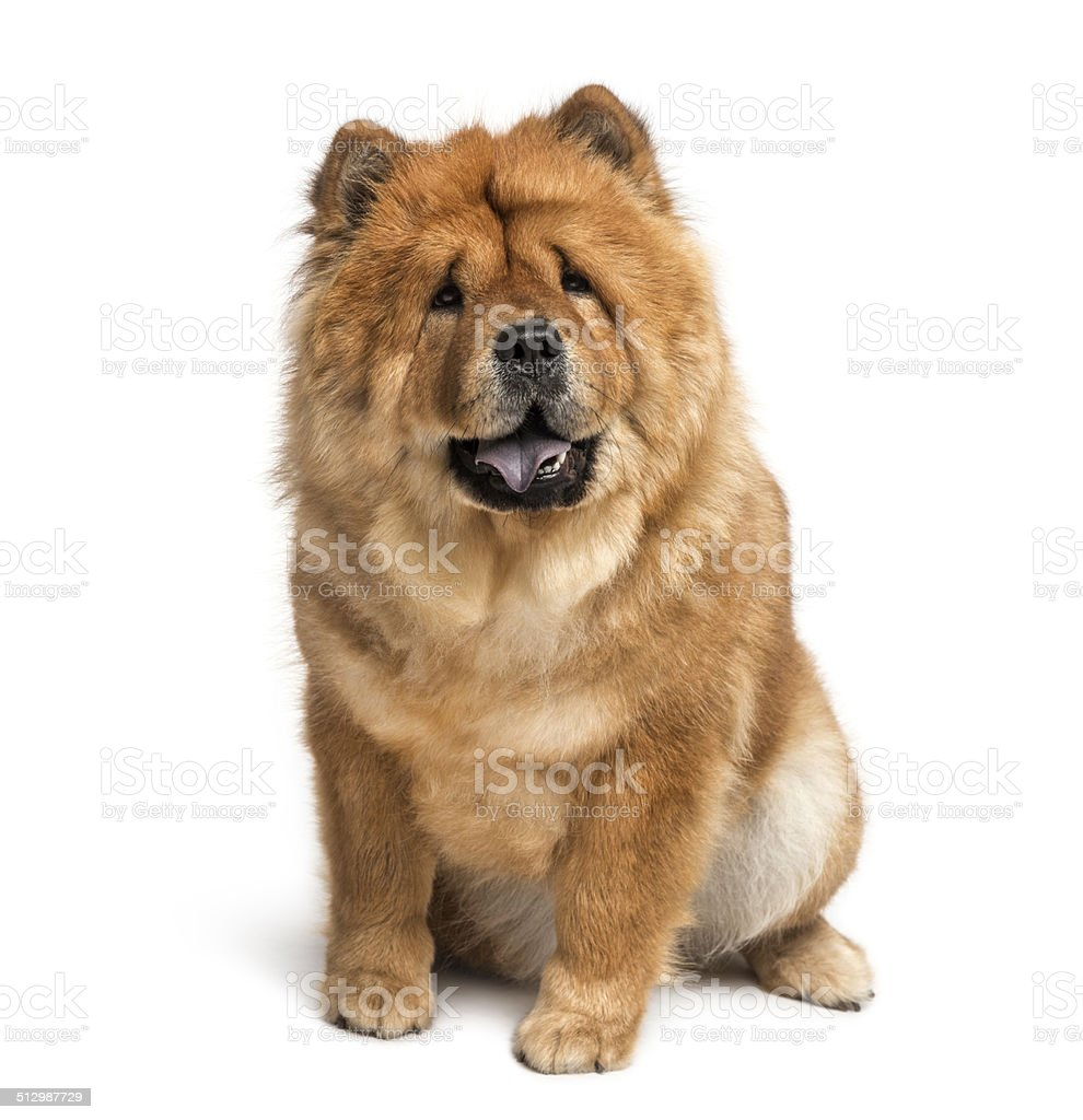 chow-chow (2 years old) stock photo