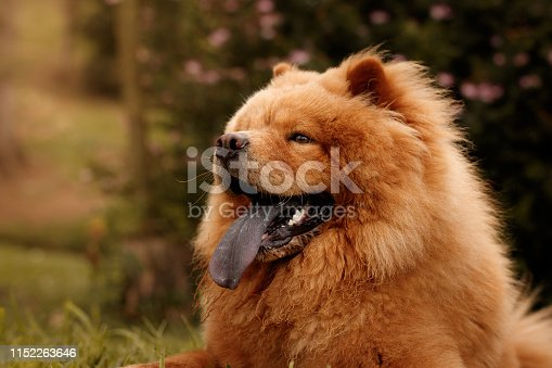 A big fury chow chow with his tongue out. He has orange fur and blue tongue. The photo was taken outdoors with natural light.