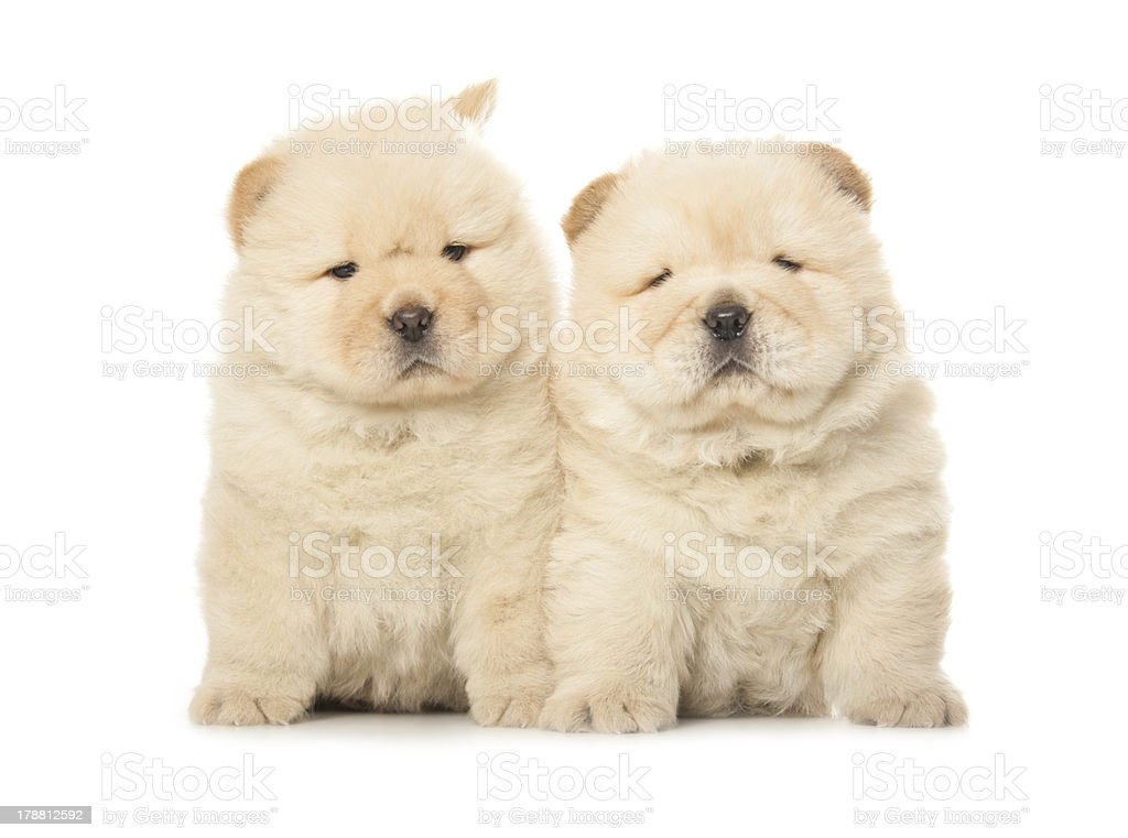 Chowchow Puppies Stock Photo - Download