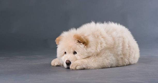 chow-chow puppy - deplorable stock pictures, royalty-free photos & images