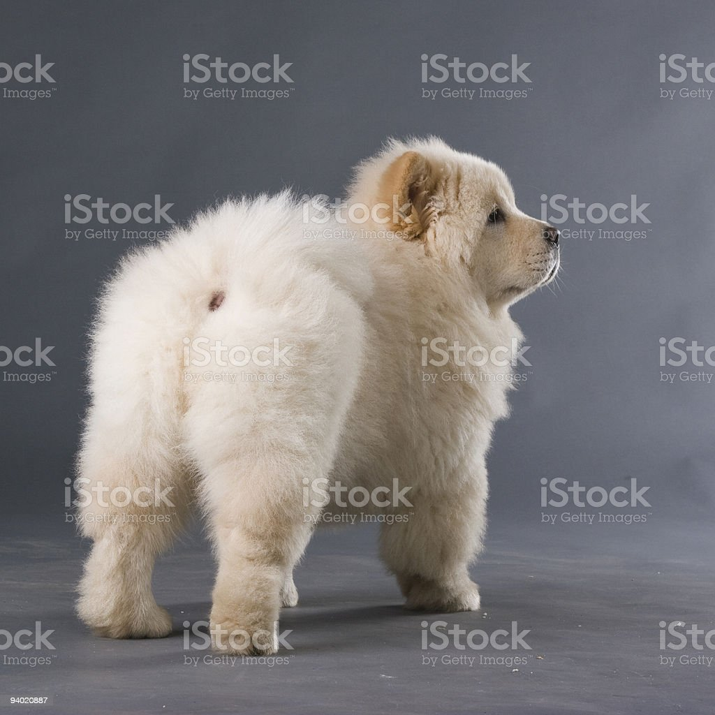 Chowchow Puppy Stock Photo & More Pictures of Animal - iStock