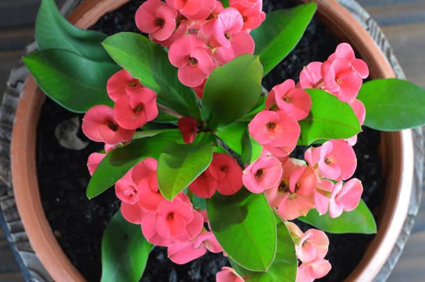 Christuspflanze, Dornenkrone, Christusdorn oder Euphorbia milii – Foto