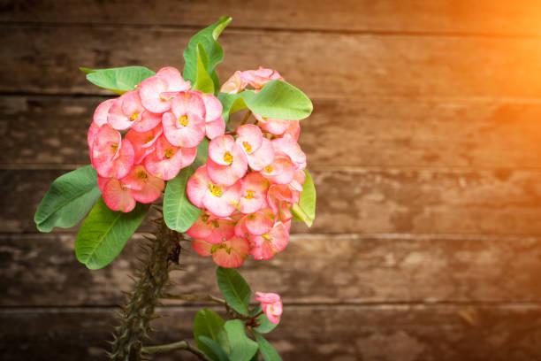 Christ Thorn flower on wood background – Foto
