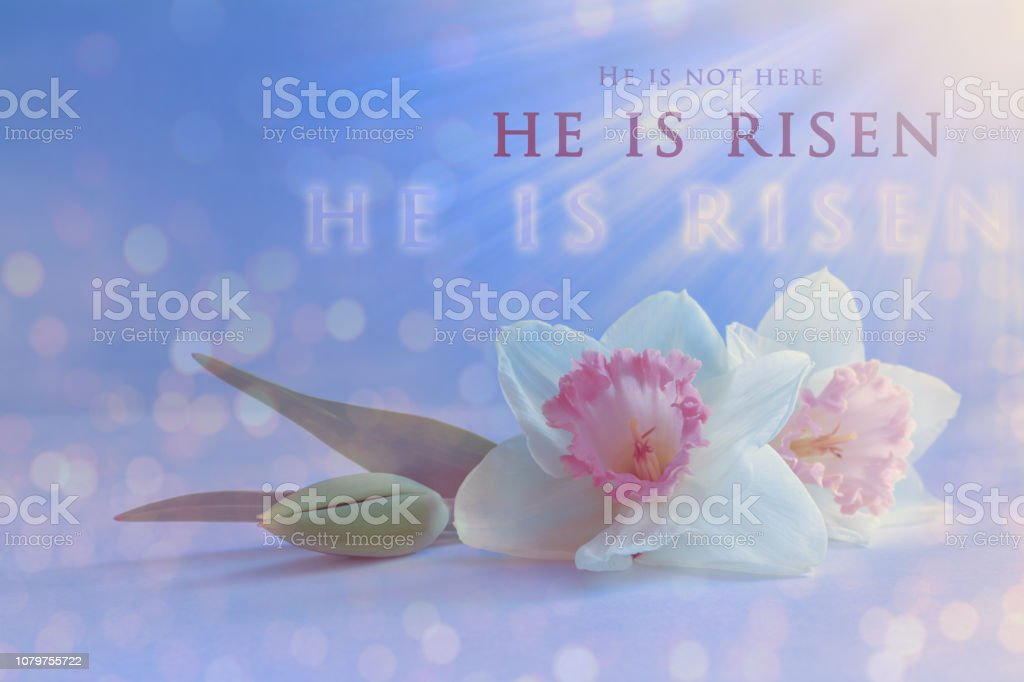 Christian Easter card. \'He is risen\' text on a soft spring daffodil...