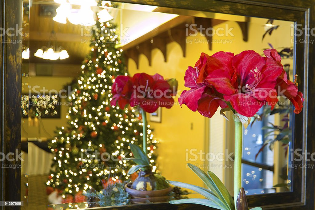 Christmas Amaryllis in front of mirror stock photo