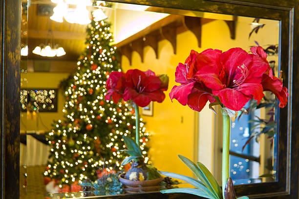 noël amaryllis devant un miroir - amaryllis photos et images de collection