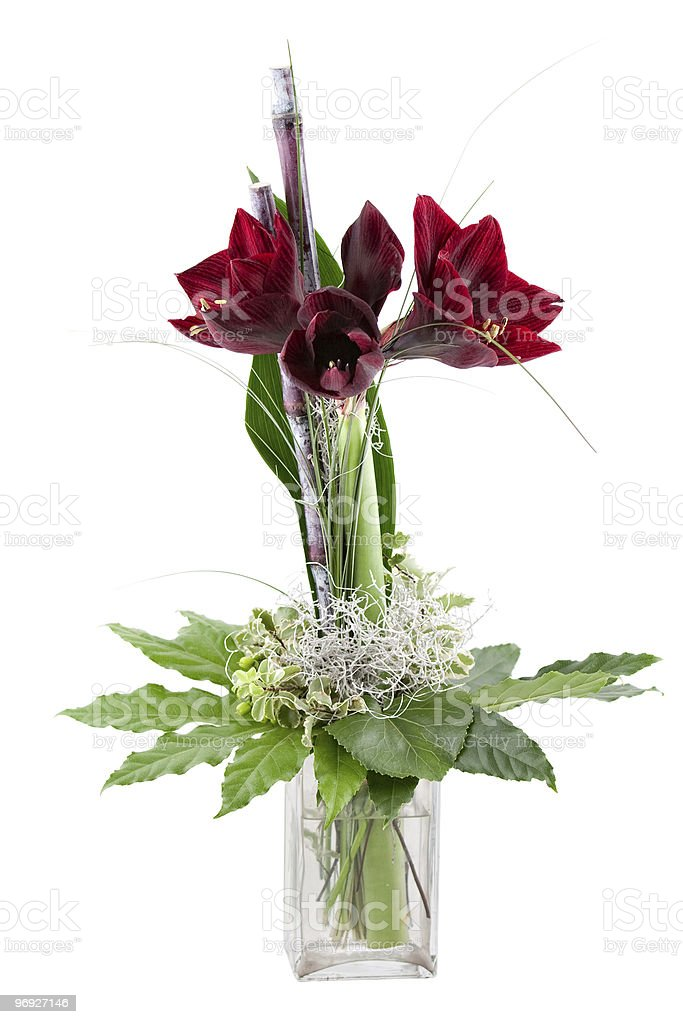 christmas amaryllis royalty-free stock photo