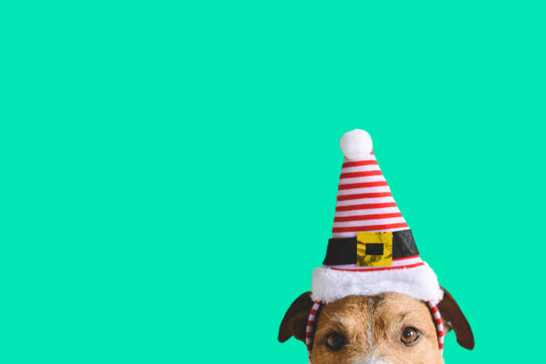 Christmas and New year holidays concept with dog wearing hat of Santa Claus assistant elf Jack Russell Terrier with funny holiday hat funny christmas stock pictures, royalty-free photos & images
