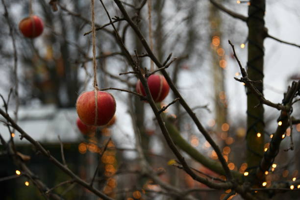 christmas apples hung in a tree in denmark - christmas stock photos and pictures