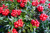 istock Christmas arrangement of green leaves and red berries 1193592349