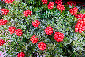 istock Christmas arrangement of green leaves and red berries 1193592556