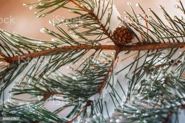 Photo of Christmas background. Pine branches with cone, covered with frost and snow