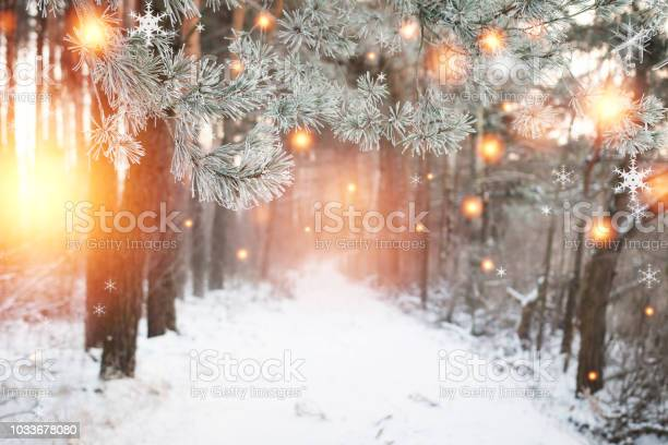 Photo of Christmas background. Winter forest with glowing snowflakes. Christmas forest with snowy road. Pine branches with hoarfrost. Xmas and New Year time in december