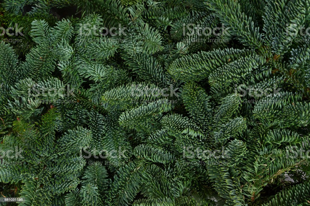 Christmas background with evergreen tree stock photo