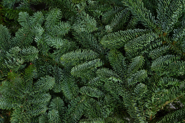 christmas background with evergreen tree - evergreen tree stock photos and pictures