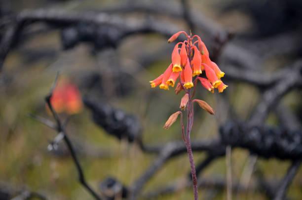 kerstklokken, blandfordia nobilis, familie blandfordiaceae, groeien tussen verbrande en gezwartde bomen na een bosbranden - herbebossing stockfoto's en -beelden