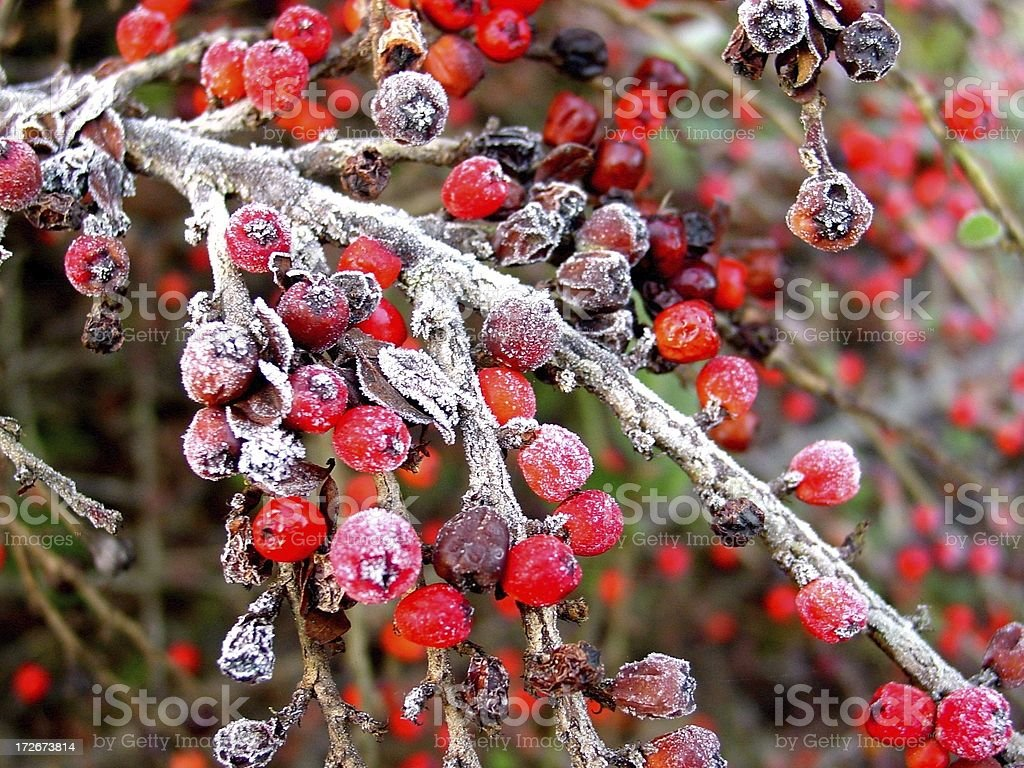 Christmas (Red) Berries royalty-free stock photo