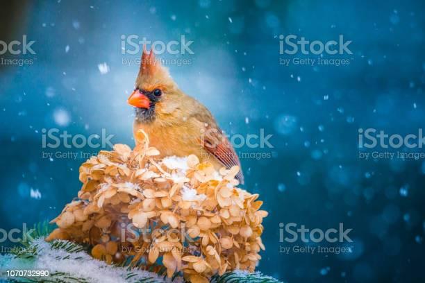 Photo of Christmas Bird, Female Cardinal, Hydrangea