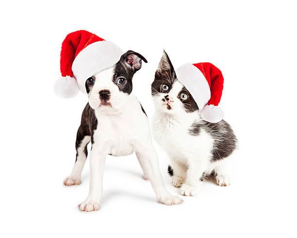 weihnachten schwarz und weiß welpen und kätzchen - katze weihnachten stock-fotos und bilder