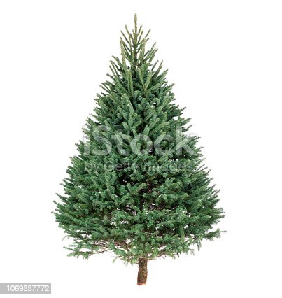 Christmas Black Hills Spruce pine tree isolated on white