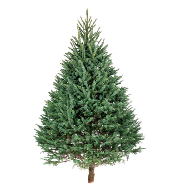 Christmas Black Hills Spruce Pine Tree Christmas Black Hills Spruce pine tree isolated on white fir tree stock pictures, royalty-free photos & images