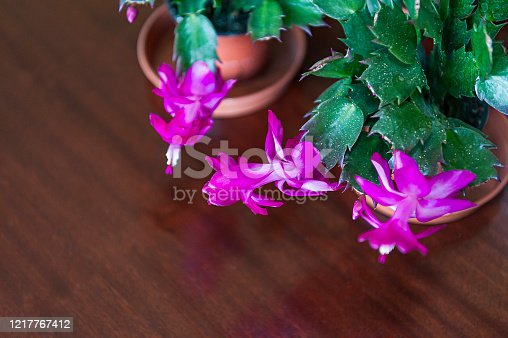 Christmas cactus blooming with pink flowers