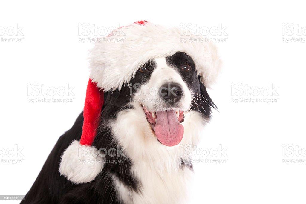 Christmas Border Collie stock photo