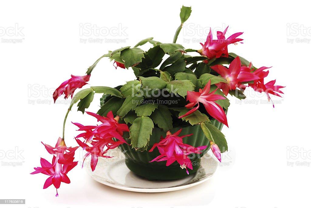 Christmas Cactus royalty-free stock photo