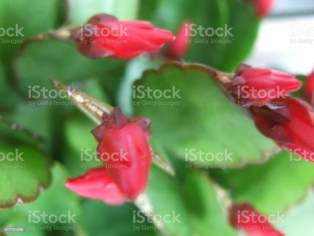 Christmas cactus, Schlumbergera truncata stock photo