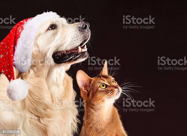 Christmas cat and dog abyssinian kitten golden retriever looks at picture id612261228?b=1&k=6&m=612261228&s=612x612&h=yy5rmweonjrjnvn85dkeitjenctqzzm2jo7dcnc39xi=