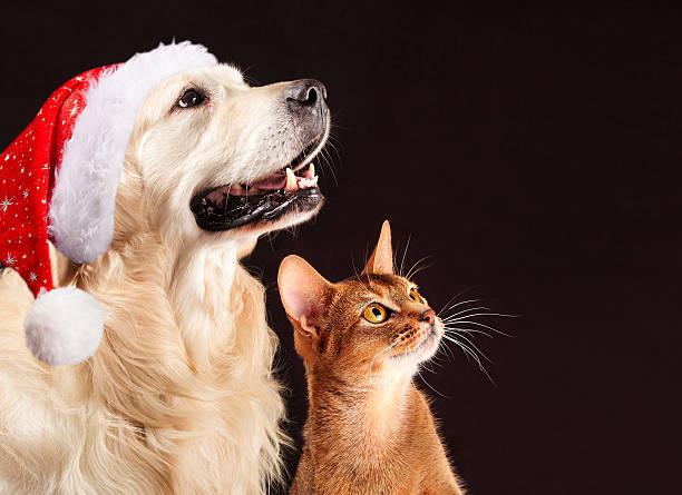 christmas cat and dog, abyssinian kitten , golden retriever looks at - katze weihnachten stock-fotos und bilder