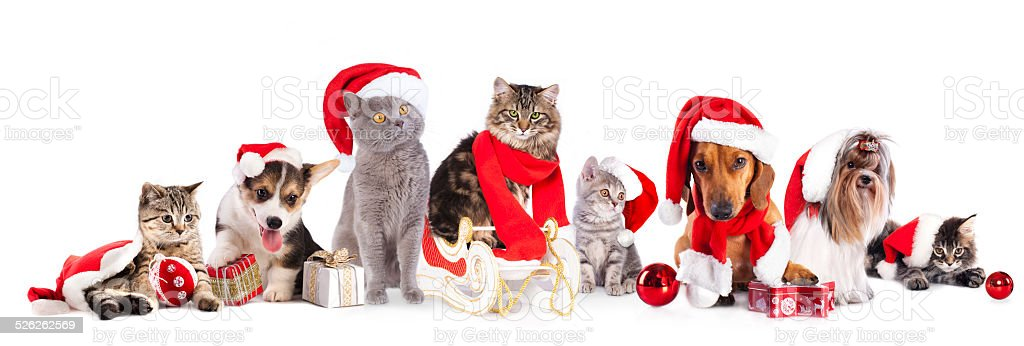 Christmas cat and dog stock photo