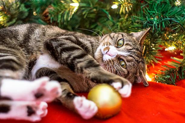 Christmas cat picture id452064015?b=1&k=6&m=452064015&s=612x612&w=0&h=rtu9uikytkuvmcwjuddiat0nwafjxo5i1lguyjsmwgo=
