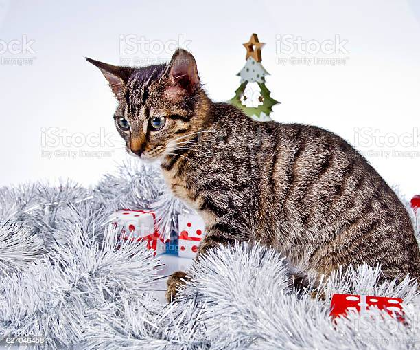 Christmas cat picture id627046458?b=1&k=6&m=627046458&s=612x612&h=yvbygxl mu1oqvk7bhkeq8fi  wzmbsmm1ji2scacww=