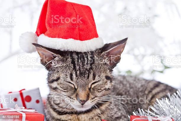 Christmas cat picture id627049194?b=1&k=6&m=627049194&s=612x612&h=qcl0tjvjxim1ulhpirjggtz7hncwvgoykhh yvh28ws=